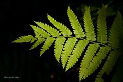 June Fern   (The Broad Beech-fern) (Buzzards Bay) Tags: plants forrest damn dda wonderfulworld coth supershot bej anawesomeshot exquisiteshot citrit rubyphotographer coth5