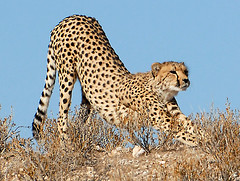 Cheetah Stretching, Kgalagadi TP June 2010.