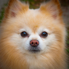 Sir Puffington (-william) Tags: cute pom cool uncool spitz pomerianian cool2 cool5 cool3 cool6 cool4 cool7 iceboxcool