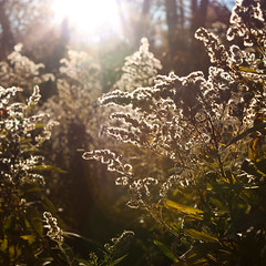 Autumn flare (greenicadesign) Tags: autumn light sun tree fall bush fluffy flare