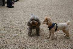 20070610-1508 (Jonathan Harford) Tags: dog poodle unionsquare fetch dogrun miniaturepoodle kittythepoodle