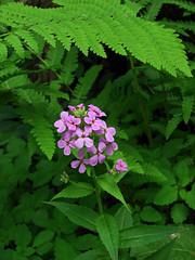 A Fairyland (vtpeacenik) Tags: green june vermont purple ferns naturesfinest damesrocket