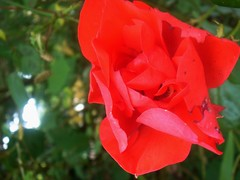 rose rouge 079