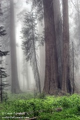 Giant Forest 2 (leapin26) Tags: california tree fog sequoia sequoianationalpark giantforest naturesfinest congresstrail anawesomeshot superbmasterpiece wowiekazowie pfevergreen primevalforestgroups pfcathedral