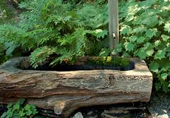 In A Woodland Setting (Cheryl Pedemonti) Tags: sun tree water fountain woodland nikond50 shade trunk ferns hosta setting newyorkbotanicalgarden nativeplantgarden cherylpedemonti envyofflickr kirengoshemapalmata japanesewaxbells