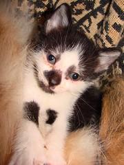 Hi Precious! (Marsh, D.) Tags: cat kitten feline sony young kitty felis bicolor blackandwhitecat yukio felidae felissilvestriscatus dsch5 bwcat blackandwhitekitten bwkitten deesnke marshd