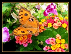 Peacock Pansy (Junonia almana javana) visiting again when our lantana burst in full bloom. Shot July 24, 2007!