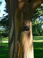 Eucalyptus bark peeling - by ramson