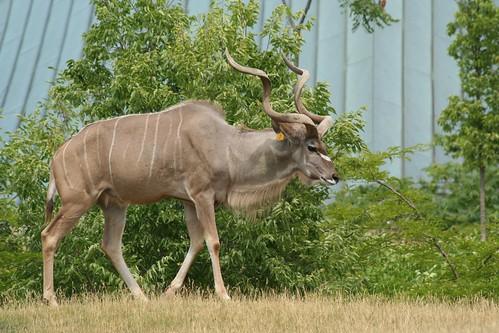 kudu mamifero