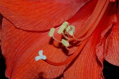 stamen (gillybooze) Tags: flower macro botanical stamen flickrdiamond