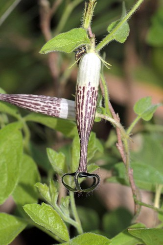 Ceropegia meyeri (Apocynaceae / Asclepiadaceae)