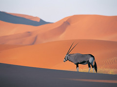 Oryx Antelope (Not for own use) Tags: