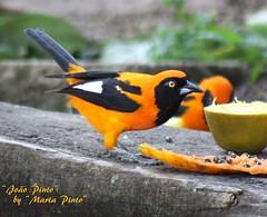 O belssimo Joo Pinto (tinica50) Tags: birds aves picturesque pssaros birdwatcher icteruscroconotus specanimal corrupio joopinto naturewatcher sofr 100commentgroup thewonderfulworldofbirds