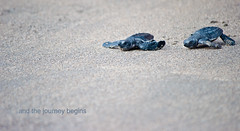 And the journey begins (Fajar Nurdiansyah) Tags: animal nikon turtle negativespace seaturtle kuta kutabeach oliveridley 55200mm d5000 55200vr lepidochelysolivacea