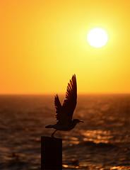 Gull Sunset (photographyguy) Tags: sunset gulfofmexico nature florida bokeh seagull gull fl gulfcoast ftwaltonbeach santarosaisland okaloosaislandpier anglersbeachsidebarandgrill