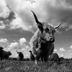 Highland Bulls B&W (maktub77 - street dog) Tags: bw nature blackwhite ricoh s10 gxr