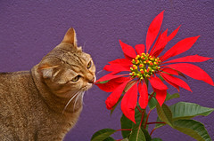 a quick sniff ... (rogersmithpix) Tags: flowers plants cats pets garden feline poinsettia sp adelaide southaustralia jesters i impressedbeauty cwcc
