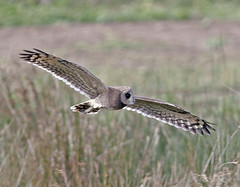 Marsh Owl in flight (Pia's birdseye view) Tags: owls marshowl asiocapensis birdsofmorocco