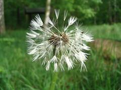 Pusteblume (dopamin66) Tags: lwenzahn pusteblume blowball