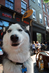 Smirk (Jasen Miller) Tags: city dog pet pets cute philadelphia dogs hair puppy puppies husky long downtown mush coat einstein longhair huskies pa siberianhusky philly smirk awww siberian wooly mushing animalplanet aboyandhisdog cannine sibe sibes trippermap abhd woolycoatsiberianhusky