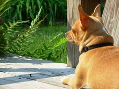 king (tomas raul) Tags: dogs animal napoleon