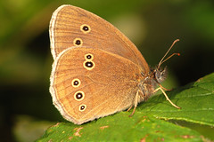 "Ringlet Butterfly (aphantopus hypera(10) • <a style=""font-size:0.8em;"" href=""http://www.flickr.com/photos/57024565@N00/746911213/"" target=""_blank"">View on Flickr</a>"