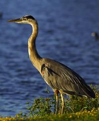 great blue heron-4 - by calibergemini