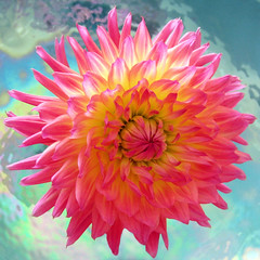 V i v i d (a m photography) Tags: pink flowers flower colorful vibrant vivid pinkonblue flowersonblue
