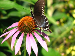 Butterfly on Coneflower (bekahlp) Tags: flowers plants nature michigan foliage blooms momsgarden flowerpicturesnolimits