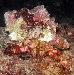 011ermitanio (coismarbella) Tags: mergulho dive scuba diving buceo submarinismo tauchen plonge crustaceos