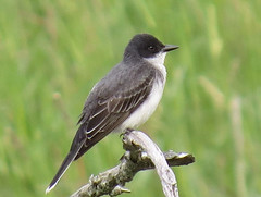Eastern Kingbird (2) (A. Y. Jackson) Tags: pictures ontario canada bird birds canon river photo photos wildlife picture grand grandriver s3 brantford southwestern kingbird easternkingbird