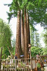 Redwood Trees (Keith Lovelady's Photography) Tags: california trees tree green beautiful northerncalifornia garden landscape hut huge tall redwood redwoods redwoodtrees hwy101 redwoodtree redwoodforest hugetree redwoodnationalforest hugetrees grandfathertree grandfathertreestop onhwy101