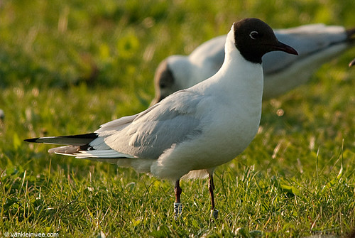 Black-headed Gull, adult, W[E9MM]