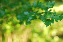 (ingephotography) Tags: summer green leaves 50mm golden leaf bokeh