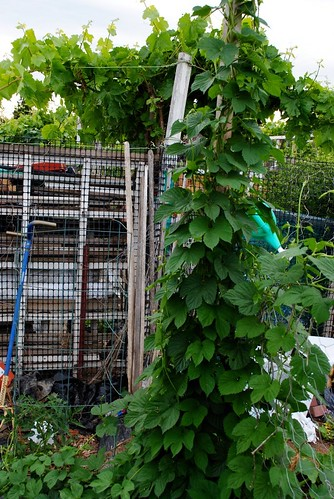 Hop Plant in my community plot