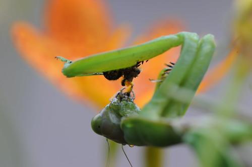 螳螂捕蝶 064