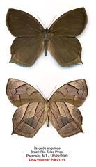 Taygetis angulosa