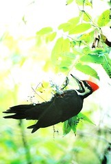 Pileated Woodpecker #2 (George Stenberg Photography) Tags: birds woodpecker pileated