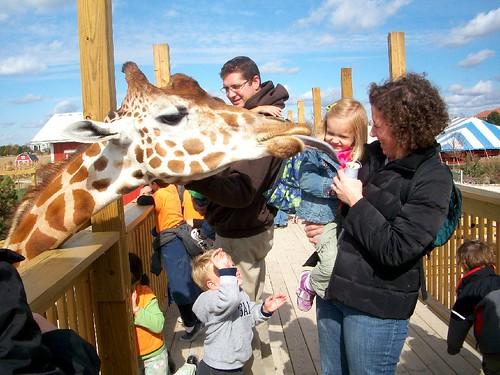 Giraffe tongue as big as your head!