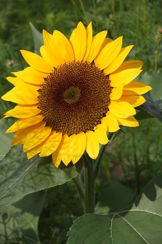 Sunflower/向日葵(ヒマワリ)