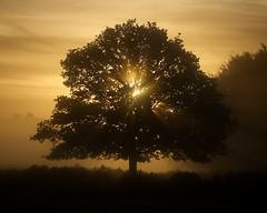 Solar (Duncan George) Tags: city uk autumn mist lake tree london landscape dawn landscapes nikon surrey royalparks singletree richmondpark goldenlight royalpark nationalnaturereserve siteofspecialscientificinterest treesinmist d700 nikonafs70200mmf28edvrii