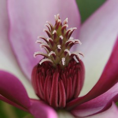 magnolia redux ... (jude) Tags: pink flower macro eye closeup square interestingness bravo searchthebest bokeh interestingness1 explore jude judith magnolia soe squared tio 2007 excellence naturesfinest meskill judithmeskill blueribbonwinner macropix magicdonkey flowerotica outstandingshots abigfave 30faves30comments300views anawesomeshot impressedbeauty 50faves50comments500views citrit judeonflickr