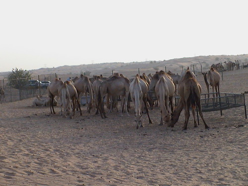 Camel Farm 0