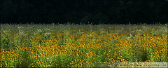 Black-Eyed Susans at Park (Gary Gardiner - Photographer) Tags: park flowers flower blackeyedsusan