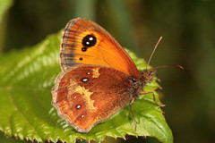 """Gatekeeper Butterfly Underside (Pyronia tithonus) • <a style=""""font-size:0.8em;"""" href=""""http://www.flickr.com/photos/57024565@N00/850209203/"""" target=""""_blank"""">View on Flickr</a>"""