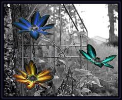 Colored Clematis (Carplips) Tags: clematis vine colorenhance selectivecolors aplusphoto