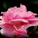 Prairie Joy rose