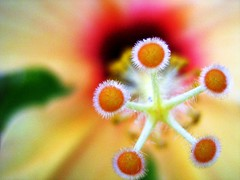 on the edge (Silvianasci (Simno)) Tags: flower colors yellow center hibiscus birthday1 naturesfinest likeastar masterphotos lovelycolors simno cmeradeourobrasil anawesomeshot irresistiblebeauty flickrelite macromarvels