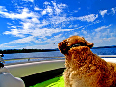 Moby watching a sea plane go by (Ciara Chase Photography) Tags: blue summer camp sky dog lake water sunglasses animal clouds fur fun glasses golden boat goggles towel retriever moby lakehouse seaplane doggles crownline sebec