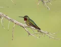 Jewels of the Wild (Fort Photo) Tags: green bird birds animal bravo dof hummingbird bokeh wildlife birding ave hummer ornithology soe avian 2007 naturesfinest broadtailedhummingbird selasphorusplatycercus featheryfriday specanimal animalkingdomelite anawesomeshot aplusphoto avianexcellence lightstylus